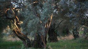 Olivenernte auf Thassos