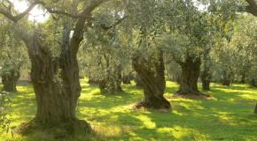 Olivenbäume auf der Insel Thassos