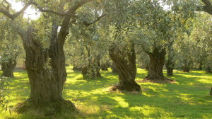 Olivenbäume auf Thassos (Bild: Wikimedia, Petr Pakandl)
